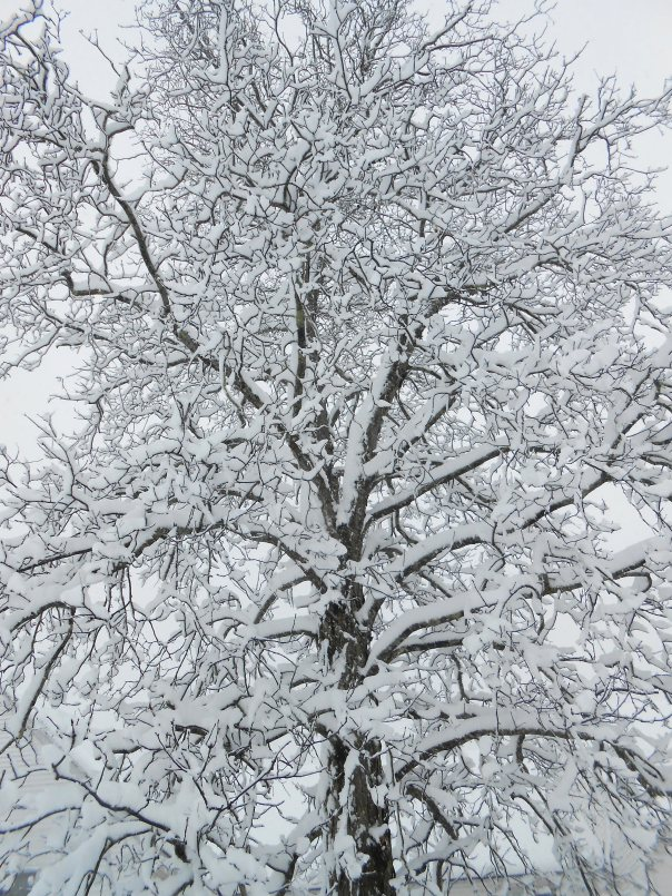 Snow-Covered Elm, digital photo, (c)Daryl-Ann Dartt Hurst, 2013